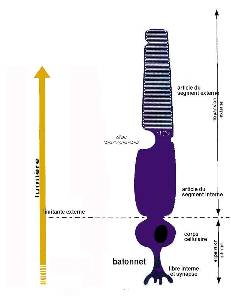 batonnet.jpg